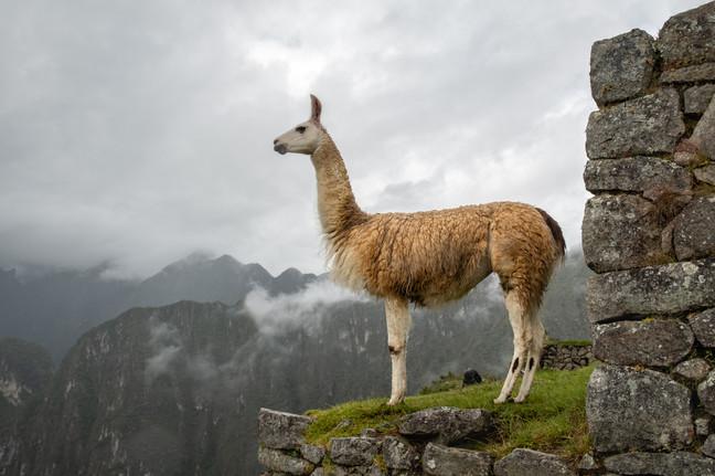 Llama in the Mist