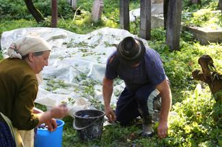 "Harvesting plums to make ""Ţuica"" a Romanian brandy"