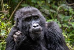 """""""Female Mountain Gorilla"""""""