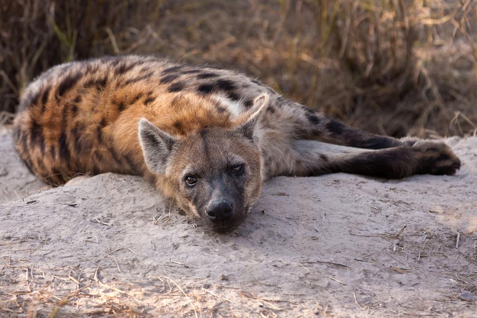 """""""Sullen Hyena"""""""