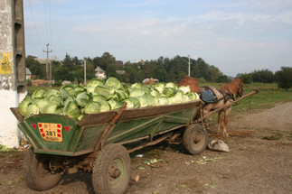 That is a lot of cabbage