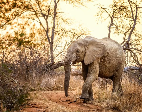 """""""Mjejane Elephant at Sunset"""""""