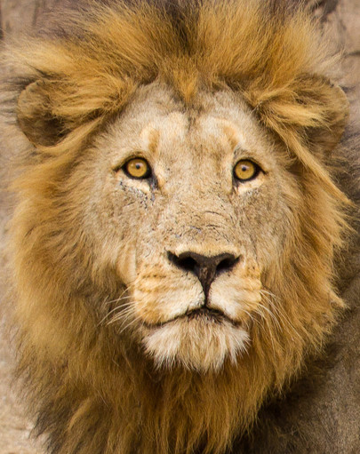 """""""Young Male Lion"""""""