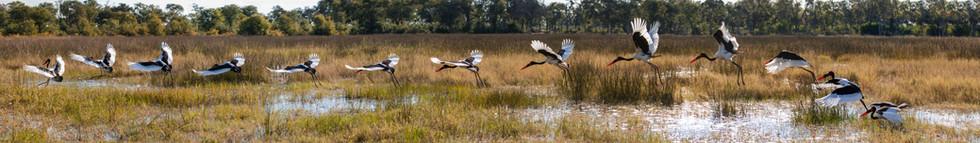"""""""Saddle-billed Stork in Flight Composite"""""""