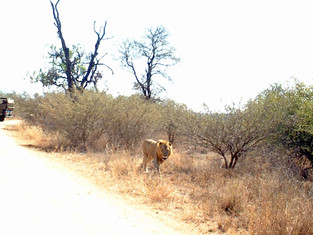 Male lion with injured leg