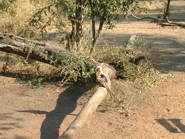 Southern Yellow-billed Hornbill (Piesangbek)