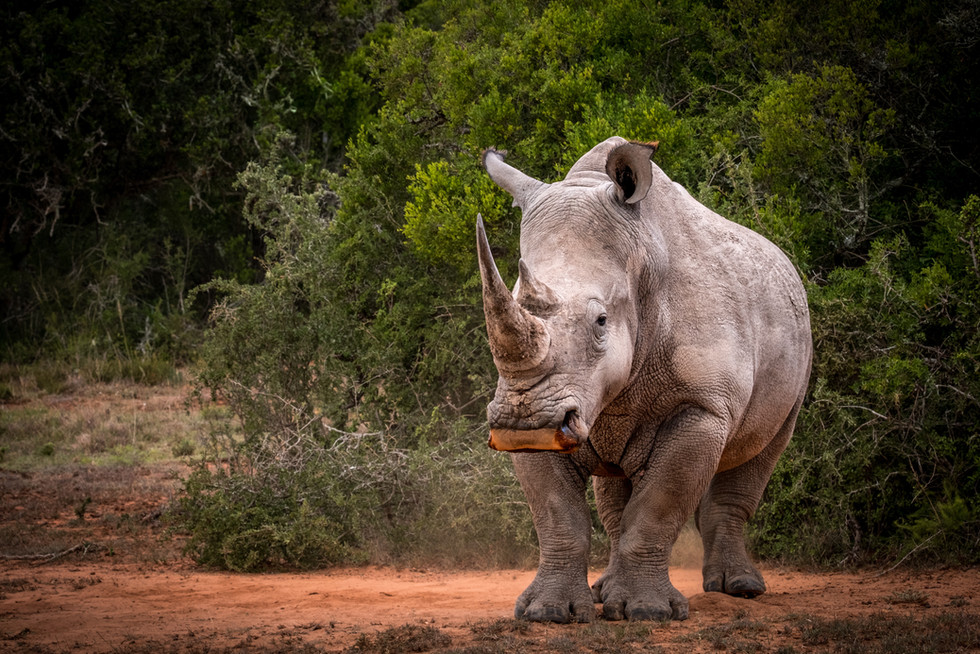 """White Rhino, Orange Lip"""