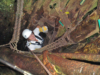 Climbing up the inside of a hollow fig tree