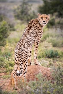 """""""Cheetah Staredown"""""""