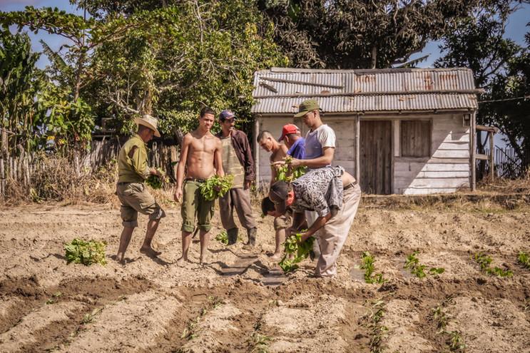 Tobacco Planting II