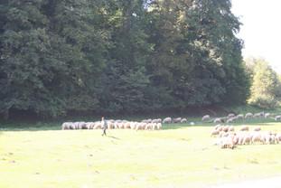 Shepherd with his flock