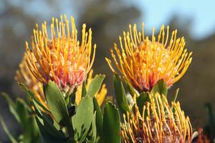 Protea Flower