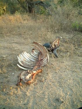 Remains of a buffalo kill