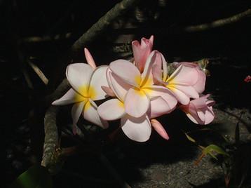 Tiare - traditional Polynesian flower