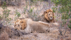 """Lion Duo"""