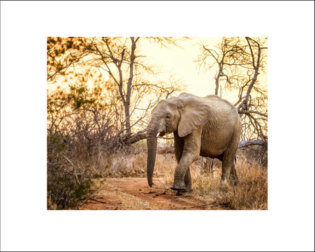 Elephant at Sunset $30