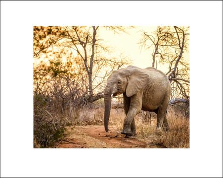 Elephant at Sunset $30