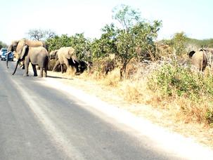 Elephant Herd2