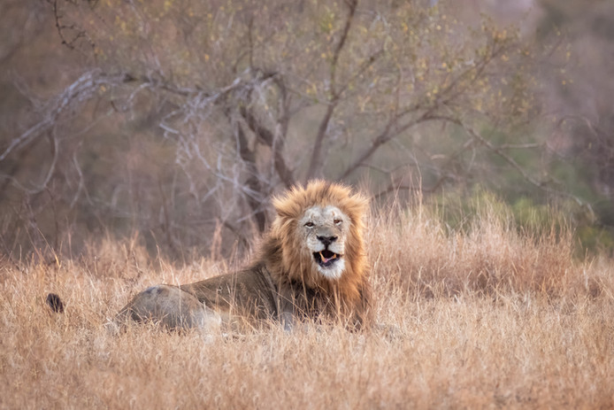 """""""Lion in the Grass"""""""