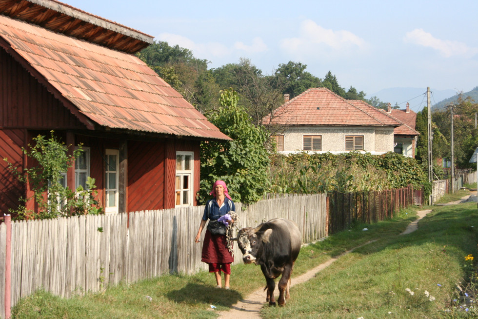 Woman taking her cow for a walk