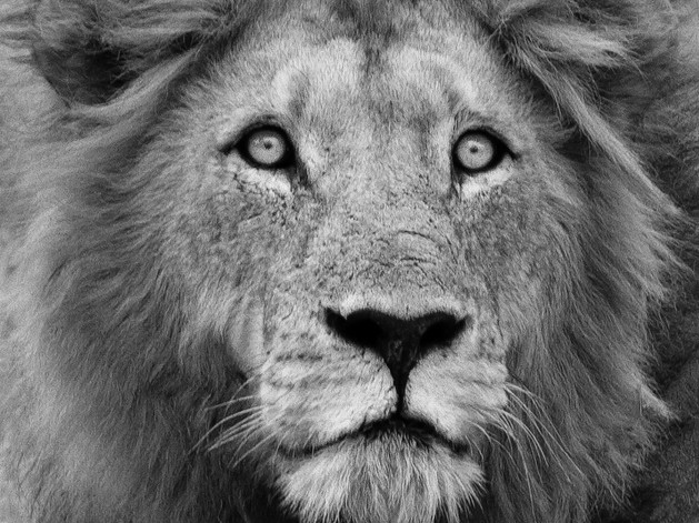 Young Male Lion (B&W) $15