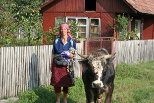Peasant woman walking her cow on a leash