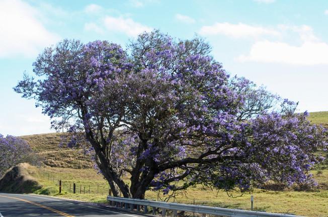 Jacaranda trees in bloom, Maui