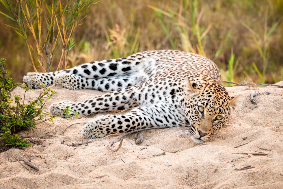 """""""Leopard in the Sand"""""""