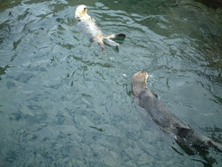 Sea Otters, Vancouver Aquarium