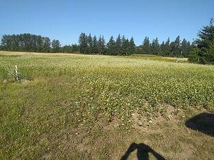 Buckwheat Covercrop.jpg