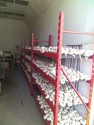 Elephant Garlic Drying.jpg