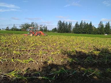 Garlic Harvest.jpg