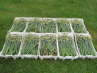Garlic Scapes 001.JPG