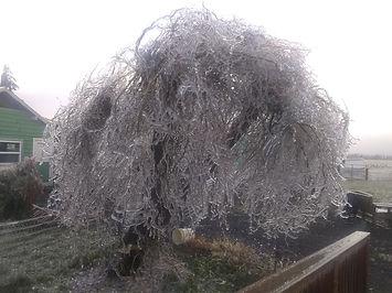 Ice Tree 02-21.jpg