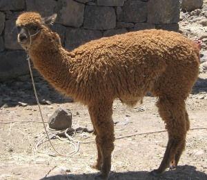 alpaca huacaya
