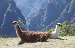 Lamas à Machu Picchu