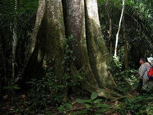 arbres en amazonie