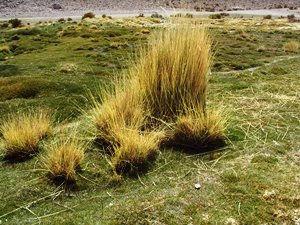 planta del altiplano