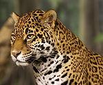 jaguar otorongo