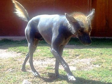 raza peruana