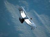 andean condor canyon colca