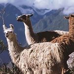 llamas, alpacas, sheeps, guinea pigs