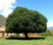 quinine arbre national peruvien