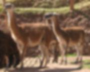 camelido sudamericano savaje