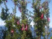 kantuta sacred flower