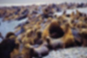 otaries sur la plage paracas