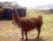 el mas grande de los camelidos sudamericanos