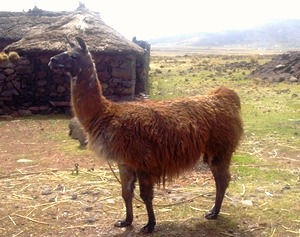 largest camelid