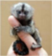 mono leoncito