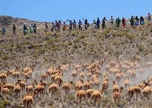 esquila vicuñas